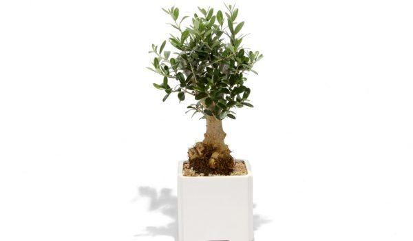 עץ הזית ממותג, עץ השלום, מתנות לחג הפסח, מתנות לעובדים וללקוחות