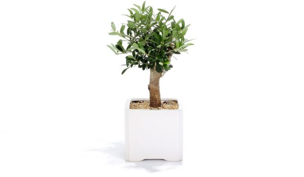 עציץ ממותג, עץ הזית ממותג, מתנות לראש השנה, מתנות לעובדים, שי ללקוחות