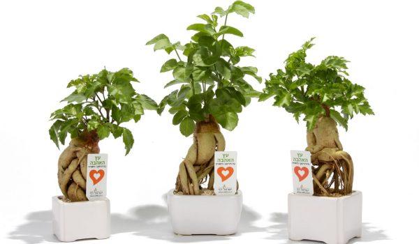 עציצים ממותגים, עץ אהבה, מתנות לטו בשבט , שי בכנסים ואירועים