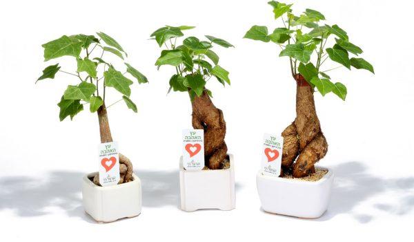 עציצים ממותגים, מסר של אהבה, עץ האהבה, מתנות לחגים, מתנות לעובדים